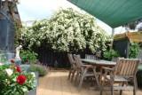 Banksia Rose in bloom