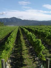 View the vineyards of the Marlborough region