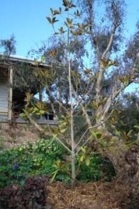 Magnolia Grandfolia